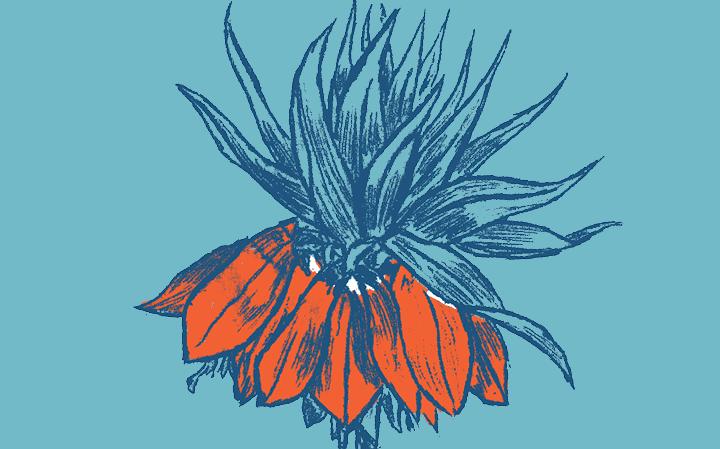 Dessin d'une plante Fritillaire Imperiale en bleu foncé avec les pétales oranges sur fond bleu clair