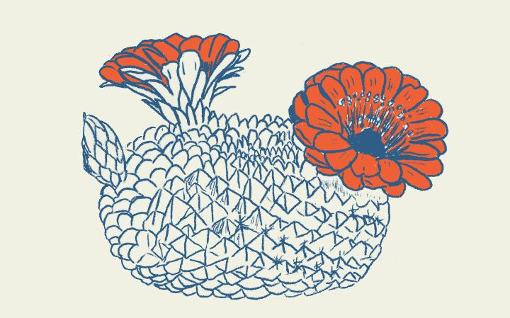 Dessin d'une plante Mammilaria en bleu foncé avec les fleurs oranges sur fond creme