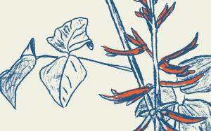 Dessin d'une plante Corallodendron en bleu foncé avec les fleurs oranges sur fond creme