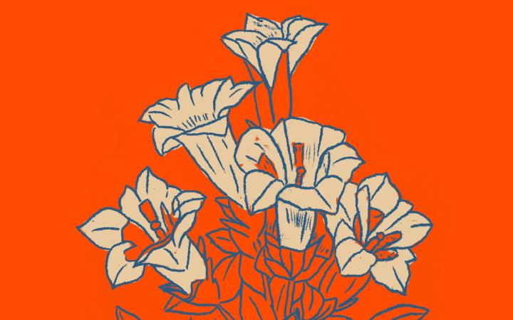 Dessin d'une Gentiane Acaule en bleu foncé avec les fleurs couleurs crème sur fond orange