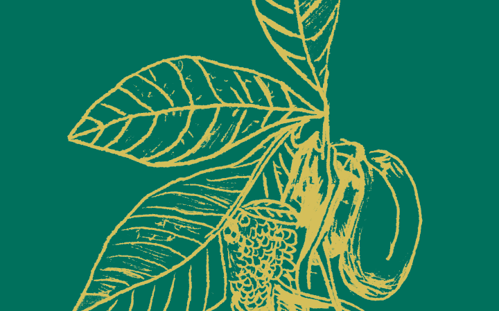 Dessin d'une plante Anona Chérimolier en or sur fond vert